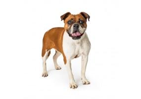 Sticker chien boxer