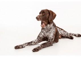 Sticker chien braque allemand