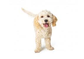 Sticker chien caniche