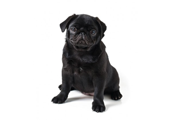 Sticker chien carlin