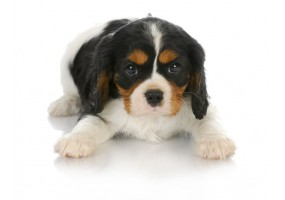 Sticker chien cavalier king