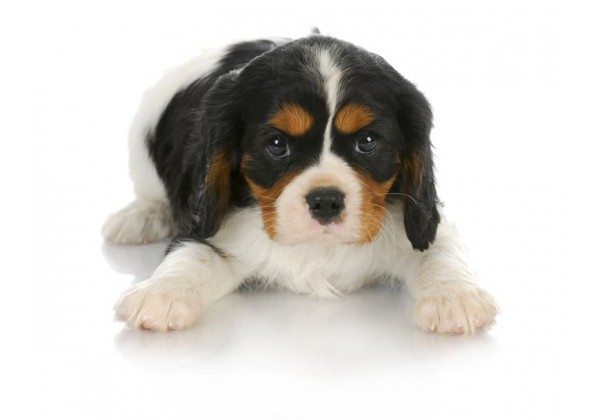 Sticker chien cavalier king