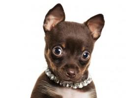 Sticker chien chihuahua