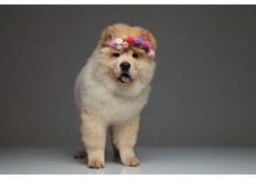 Sticker chien chow chow