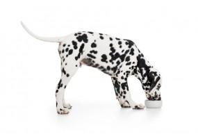 Sticker chien dalmatien