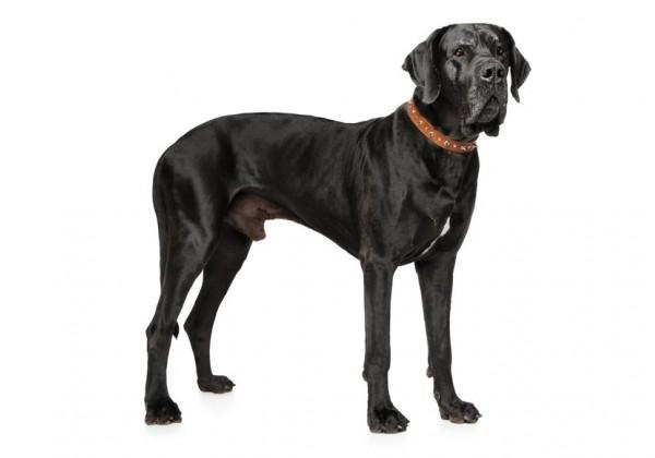 Sticker chien dogue allemand