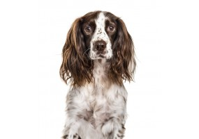 Sticker chien epagneul springer