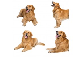Sticker chien golden retriever