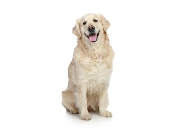 Sticker chien golden retriever