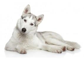 Sticker chien husky
