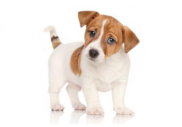 Sticker chien jack russell