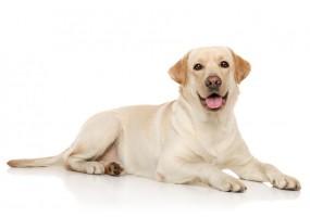 Sticker chien labrador