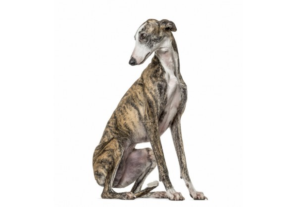 Sticker chien lévrier