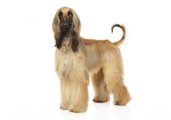 Sticker chien lévrier afghan