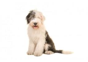 Sticker chien mouton anglais