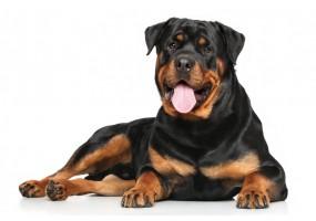 Sticker chien rottweiler