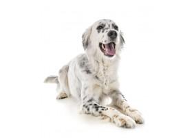 Sticker chien setter