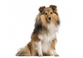 Sticker chien shetland