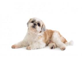 Sticker chien SHIHTZU