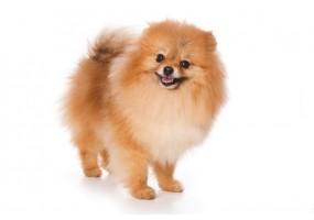 Sticker chien spitz