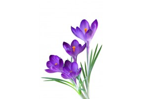 Sticker crocus