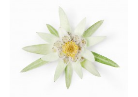 Sticker edelweiss