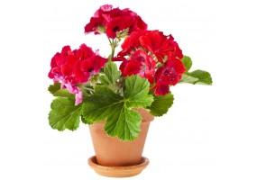 Sticker geranium
