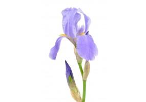 Sticker iris