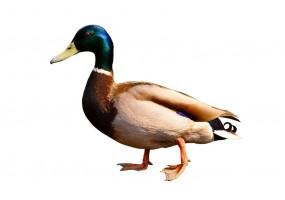 Sticker canard