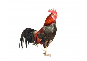Sticker coq