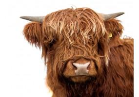 Sticker vache écossaise