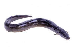Sticker anguille