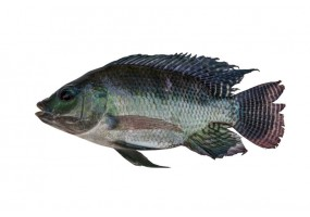 Sticker poisson tilapia
