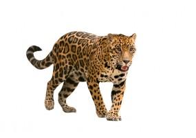 Sticker jaguar