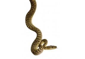 Sticker Serpent