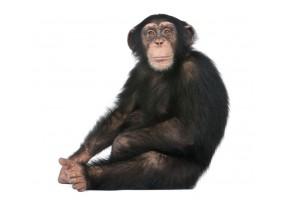 Sticker Chimpanzé