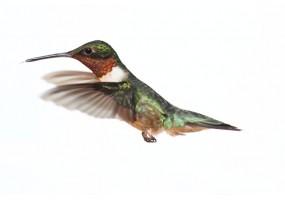 Sticker Colibri