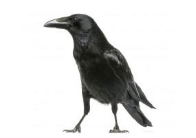 Sticker Corbeau