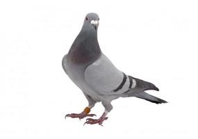 Sticker Pigeon