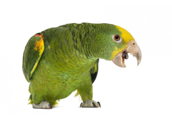 Sticker oiseau Amazone