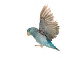 Sticker Perroquet Parrotlet
