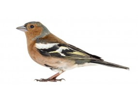 Sticker oiseau Pinson des arbres