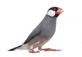 Sticker oiseau Padda de Java