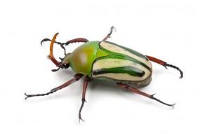 Sticker insecte Coléoptère