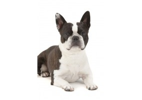 Sticker Chien Boston Terrier