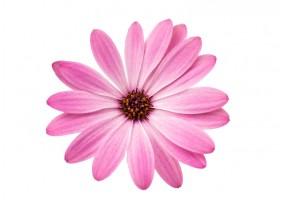 Sticker fleur rose