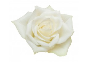 Sticker Rose Blanche