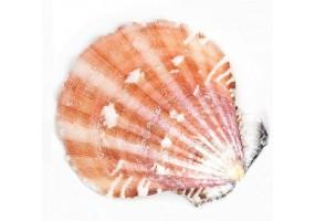 Sticker coquillage coraille