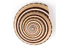Sticker coquillage colore