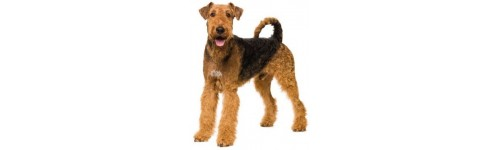 Chien airedale terrier
